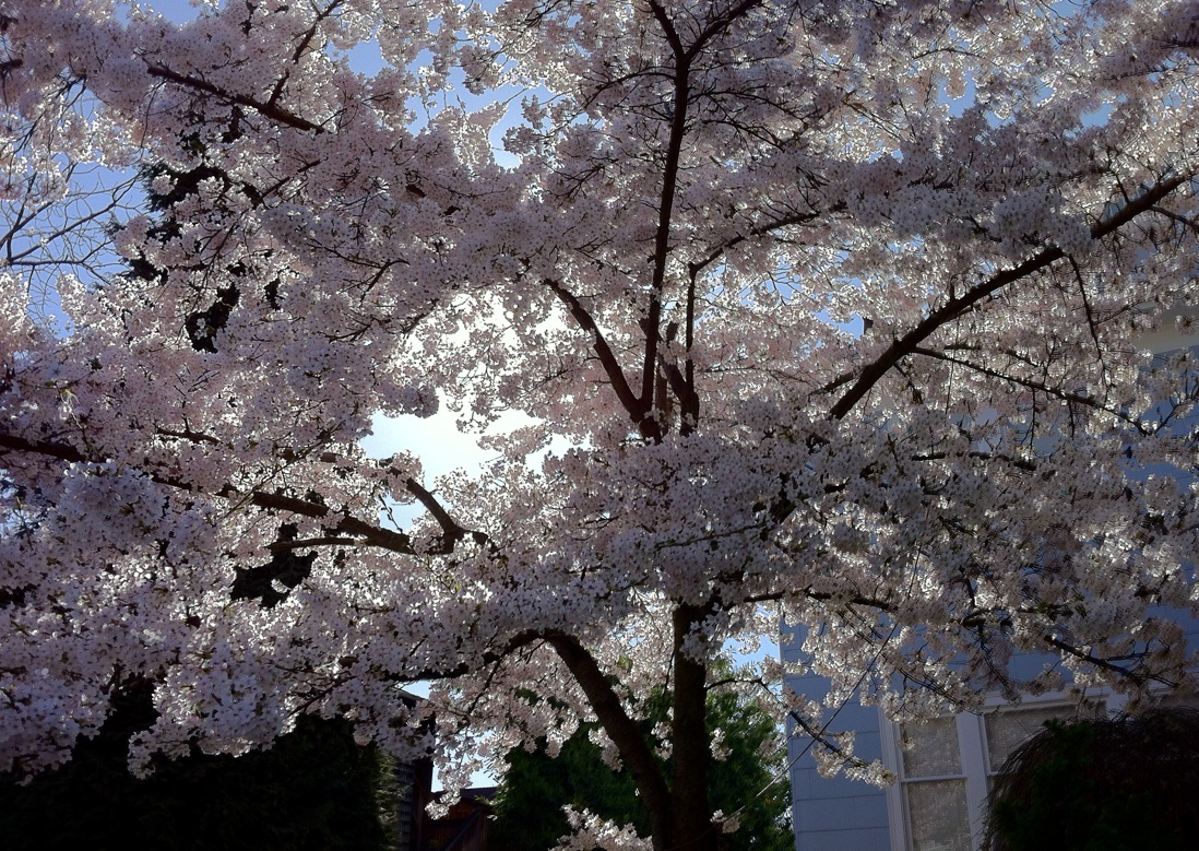 Cherry Blossoms, Capitol Hill, Seattle