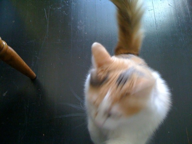 Jellybean the cat in motion