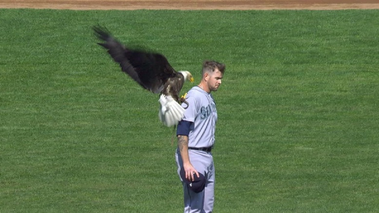 A bald eagle lands on M's pitcher James Paxton's shoulder during pregame ceremonies in Minnesota